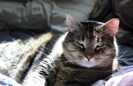 A boosy cat glares when awoken from an afternoon nap Foto de archivo
