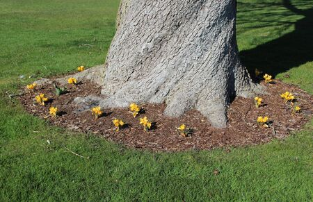 Yellow crocus flowers bloom around a big tree in spring