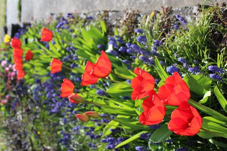 A row of red tulips bloom with blue mucari flowers in a spring garden Banque d'images