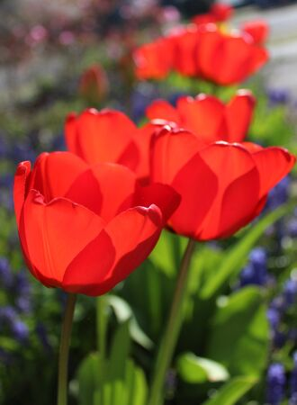 Gorgeous red tulips bloom under the spring sunshine 스톡 콘텐츠