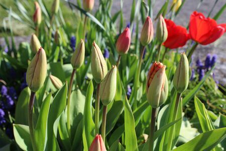Red tulips ready to bloom in a spring garden Banque d'images