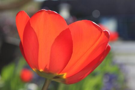 A gorgeous red tulip blooms in the spring sunlight - close up photo