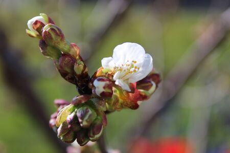 Branch with blossoming cherry flowers in spring