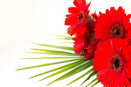 A bouquet of red gerberas Stock Photo