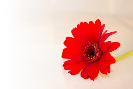 A red gerbera flower Stock Photo