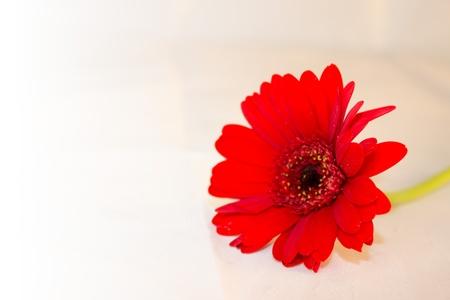 Un fiore rosso gerbera