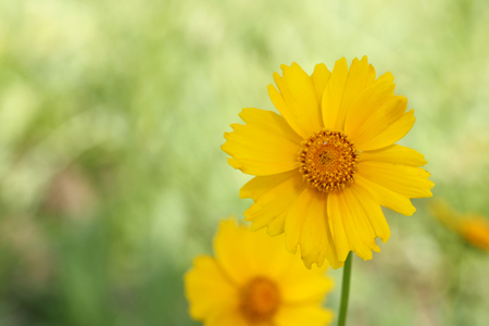 Yellow flowers of lance leaved tickseeds of the sunflower family, coreopsis (Coreopsis pubescens) in garden.