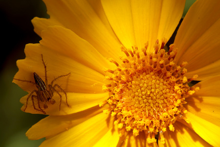 close up of small spider on the yellow Lanceleaf coreopsis flower