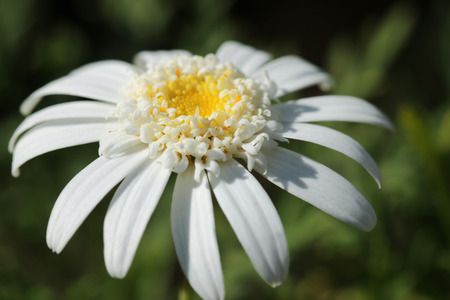 close up oxeye Daisy Leuchanthemum flower, perfectly white petals and detailed yellow center pistils. blurred in the background Stock Photo