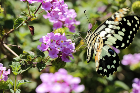 beautiful butterfly looking for nectar from the flower in the garden