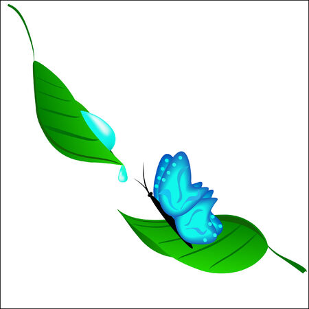 blue green background: The blue butterfly drinking dew from a leaflet