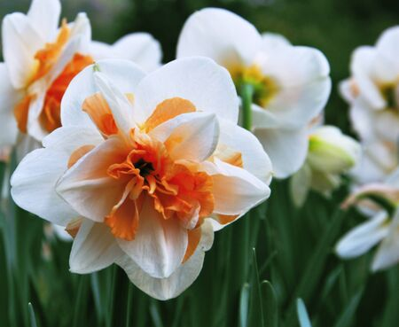 Spring narcissuses on a lawn, a flower background photo