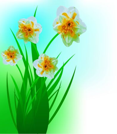 jonquil: Spring narcissuses on a lawn, a flower background