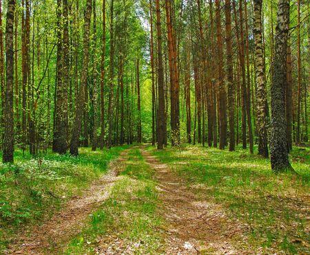 Footpath in a birchwood, a sunny summer day photo