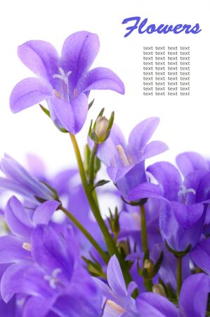 Flowers on a white background, dark blue hand bells Stock Photo - 12949805