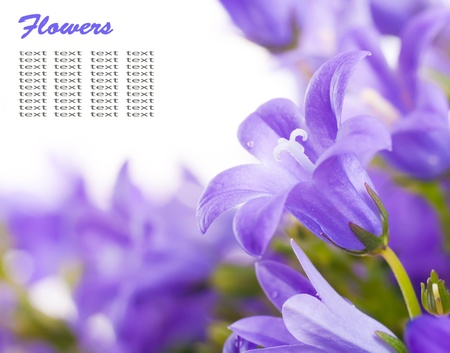 Flowers on a white background, dark blue hand bells with dew drops photo