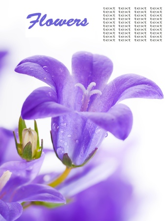 purple lilac: Flowers on a white background, dark blue hand bells with dew drops Stock Photo