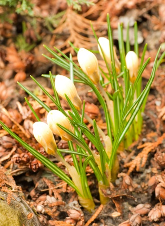 Spring flowers, yellow crocuses against red leaves photo