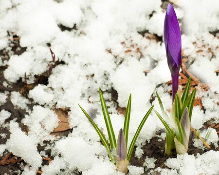 Spring flowers, white-dark blue crocuses against snow photo