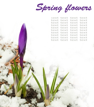 Spring flowers, white-dark blue crocuses against snow
