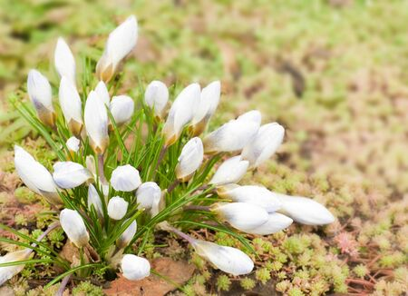 Spring flowers, snowdrops against a fresh grass photo