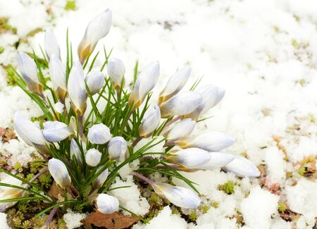 thawed: Spring flowers, snowdrops against thawed snow