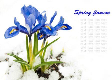 Spring flowers, irises on a white background photo