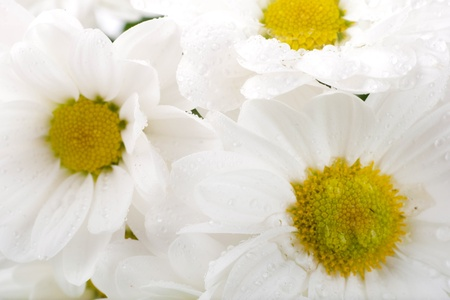 White flowers, field camomiles with dewdrops photo