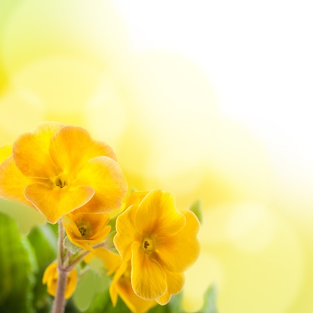 Yellow flowers on a white background, a spring primrose photo