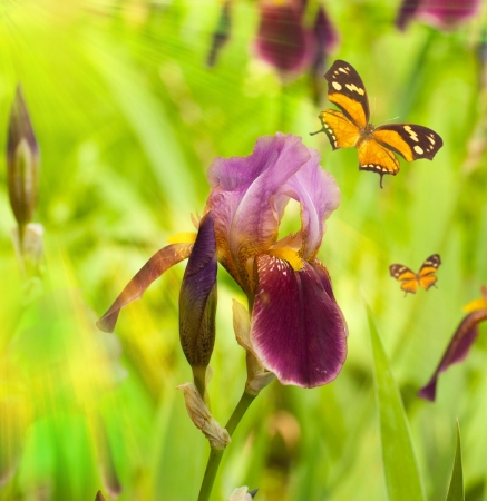 Pink irises against a green grass, a summer butterfly photo