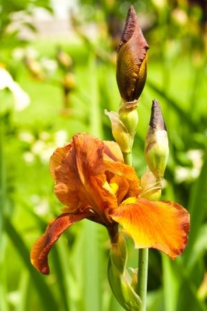 Pink irises against a green grass, a summer butterfly photo