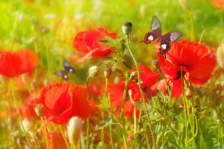 The red poppies on green field, a summer butterfly photo