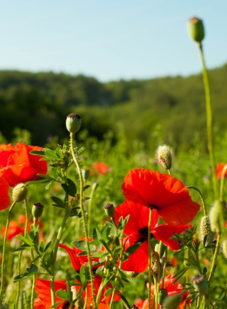 The red poppies on green field, a summer flower photo