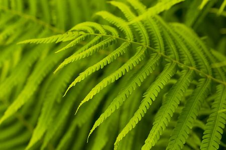 Green leaves of fern, tropical forest, are in sunbeams photo