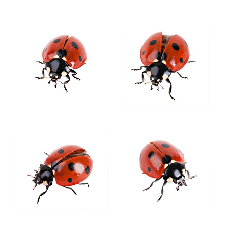 spiders: Ladybird in different poses on a white background Stock Photo