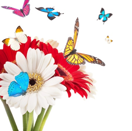 butterfly flower: White and red flowers, bouquet of gerber Stock Photo