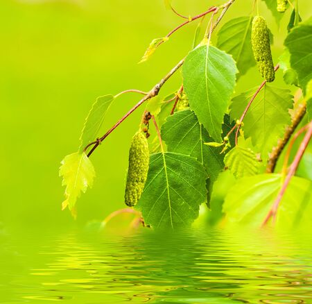 A birch is in spring with green leaves and rings photo