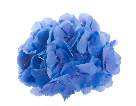 Flowers in a bouquet, blue hydrangeas and white flowers Stock Photo