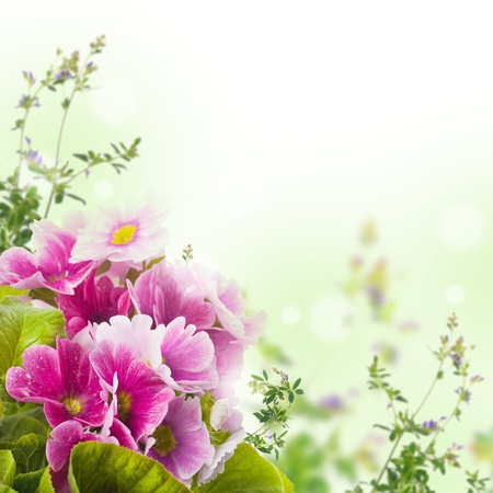 purple wreath: A spring primrose is in a bouquet, floral background