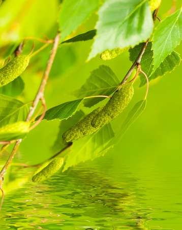 birchen: A birch is in spring with green leaves and rings