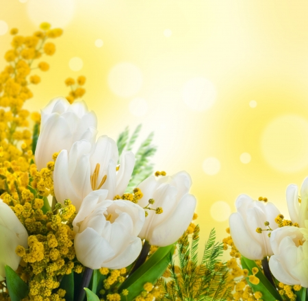 White tulips with a mimosa, a background from flowers photo