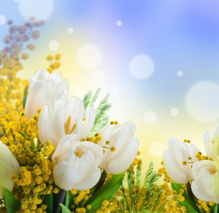 White tulips with a mimosa, a background from flowers