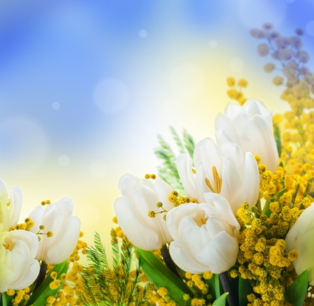 flowers background: White tulips with a mimosa, a background from flowers
