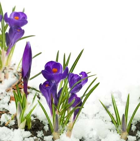 Snowdrops and crocuses on snow in a sunny day