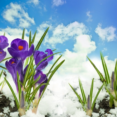 Snowdrops and crocuses on snow in a sunny day photo