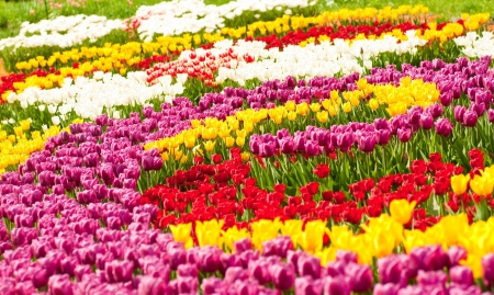 Bed of tulips in the city gardens photo