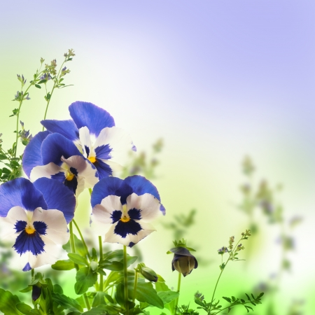Blue spring violets on a green background photo