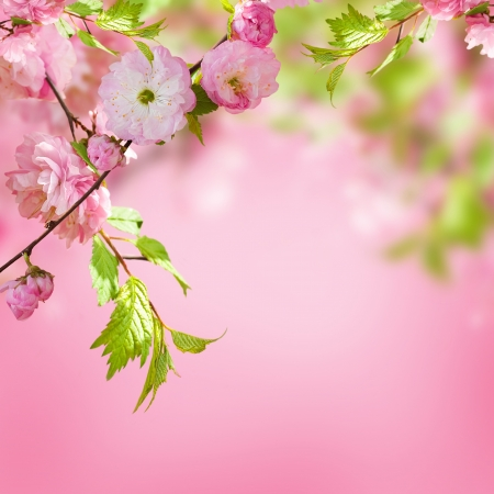 Pink flower of an Oriental cherry in a spring garden photo