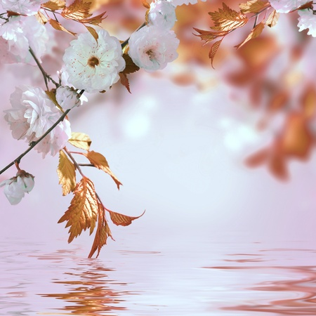 Pink flower of an Oriental cherry in a spring garden, water photo