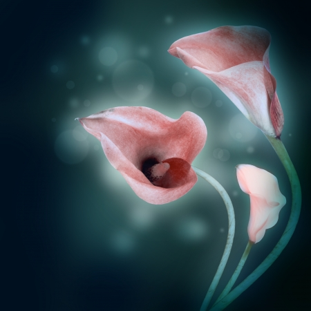 Multi-colored lilies on a dark background photo